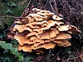 Laetiporus sulphureus (Chicken of the Woods) - geograph.org.uk - 1619255.jpg