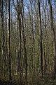 Lainzer Tiergarten März 2014 Buchenwald 2.jpg