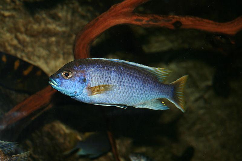 File:Lake Malawi Cichlid blue.JPG