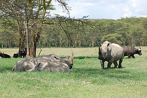 Southern white rhinoceros - A southern white rhinoceros herd in Lake Nakuru, Kenya.