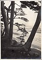 Landscape of Japan - Matsu (Pine trees , Pinus) on the seashore (1915 by Elstner Hilton).jpg