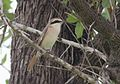 Lanius phoenicuroides, Vila de Sena, Birding Weto, d.jpg