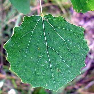 Populus - Leaf of Populus tremula