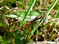 Large Red Damselfly. Pyrrhosoma nymphula. - Flickr - gailhampshire (4).jpg