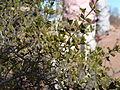 Larrea cuneifolia o Jarilla macho.JPG