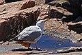 Larus smithsonianus Acadia 0419.jpg