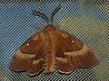 Lasiocampa quercus ♂ - Oak eggar (male) - Коконопряд дубовый (самец) (40961558572).jpg