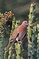 Laughing dove (Spilopelia senegalensis cambayensis) Narlai.jpg