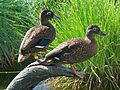 Laysan Duck pair on Eastern Island on Midway Atoll (14997442439).jpg