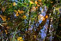 Leaves and reflections in a mossy puddle 2.jpg