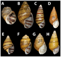 Lectotypes of pleurocerids sympatric with Leptoxis compacta - journal.pone.0042499.g003.png