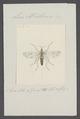 Leia - Print - Iconographia Zoologica - Special Collections University of Amsterdam - UBAINV0274 038 04 0009.tif
