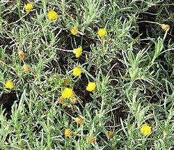 Leiocarpa panaetioides.jpg