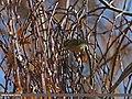 Lemon-rumped Warbler (Phylloscopus chloronotus) (15784264994).jpg
