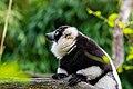 Lemur (24677006228).jpg