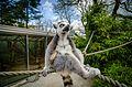 Lemur (25942461393).jpg