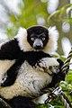 Lemur (26992432418).jpg