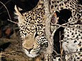 Leopard (43841719665).jpg