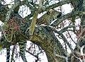 Leopard (Panthera pardus) female resting in a tree ... (51217429758).jpg