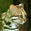 Leopard Cat - panoramio.jpg