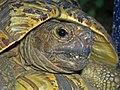 Leopard Tortoise2-edit1.jpg