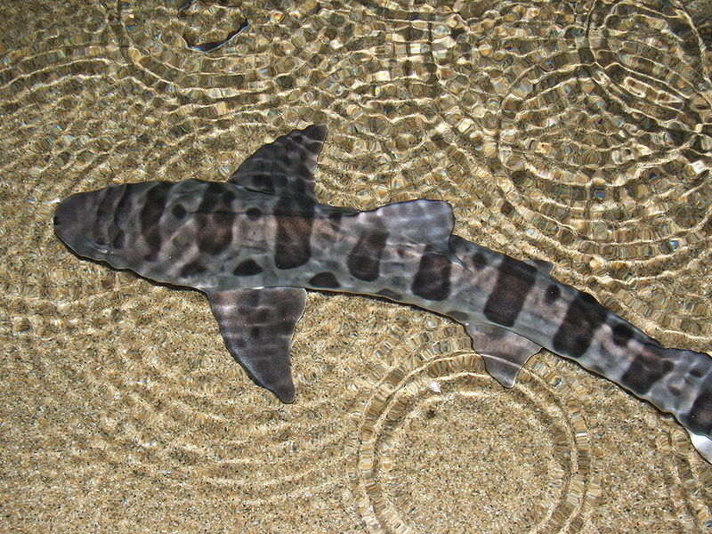 Creature Feature: Leopard Shark | Marine Science Institute ...  |Leopard Shark Babies