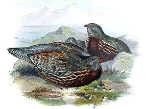Snow partridge - Illustration by John Gould