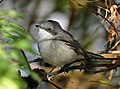 Lesser Whitethroat by Shrikant Rao.jpg