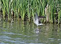 Lesser Yellowlegs (32504037502).jpg