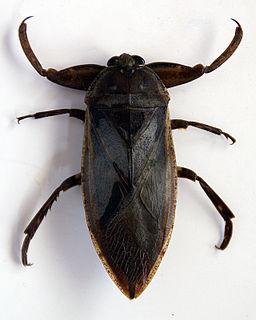 Lethocerus