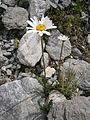 Leucanthemum atratum 001.JPG