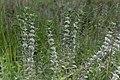 Leucas pechuelii-2160 - Flickr - Ragnhild & Neil Crawford.jpg