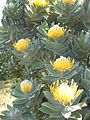 Leucospermum conocarpodendron - Table Mountain 7.JPG