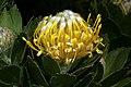 Leucospermum conocarpodendron subsp. viridum 1DS-II 3-5887.jpg
