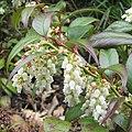 Leucothoe fontanesiana 02.jpg
