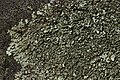 Lichen (41445685494).jpg