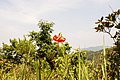 Lilium amabile 3.jpg