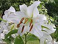 Lilium candidum beentree.jpg