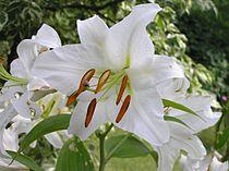 https://upload.wikimedia.org/wikipedia/commons/thumb/3/34/Lilium_candidum_beentree.jpg/210px-Lilium_candidum_beentree.jpg