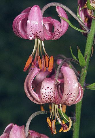 Liliales - Lilium martagon (Martagon lily)