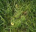 Linaria vulgaris 01 ies.jpg
