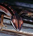 Lined Flat-tailed Gecko (Uroplatus lineatus) (7637805134).jpg