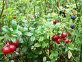 Lingonberries in bush.jpg