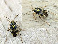 Liocoris tripustulatus01.jpg