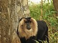 Lion Tailed Macaque in the Vandalur Zoo.jpg
