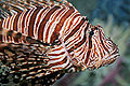Lion fish melb aquarium.jpg