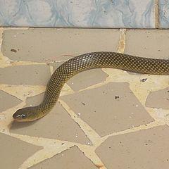 Military Ground Snake