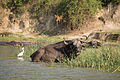 Little egret and buffaloes - Queen Elizabeth National Park, Uganda.jpg