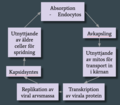 Livscykel papillomvirus.png