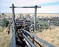 Loading Cattle at Louisa 1967.jpg